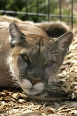 Shrinking gene pool hurting mountain lions of Santa Monica Mountains