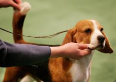 AKC: Beagles spike in popularity