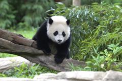 Panda fakes pregnancy to get more food [UPDATED]