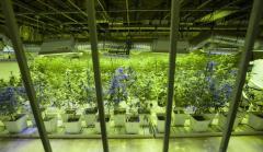 $50,000 of marijuana stolen from Seattle dispensary