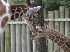 Woman kicked in face after jumping in giraffe enclosure at Wisconsin zoo