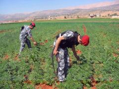 Islamic State burns marijuana fields in Syria