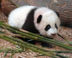 National Zoo giant panda not pregnant