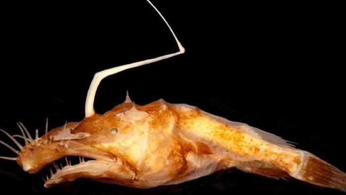 Researchers name new anglerfish species in gulf for Gulf fish species