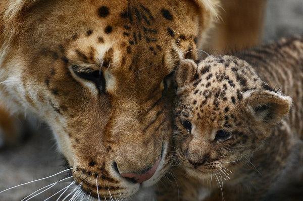 Three-liliger-cubs-born-to-liger-mom-PHOTOS.jpg