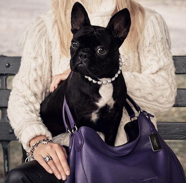 Gagas lady dog coach fotos