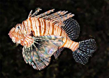 Invasive lionfish a menace in florida for Invasive fish in florida