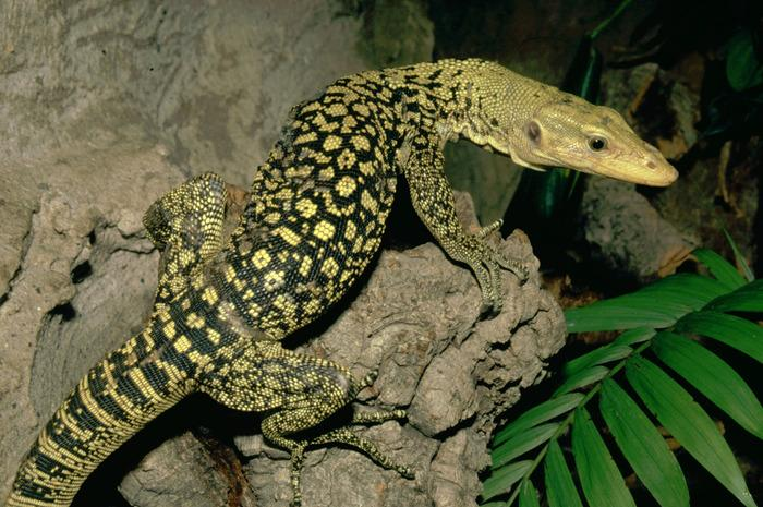 how to tell the health of a blue tongue lizard
