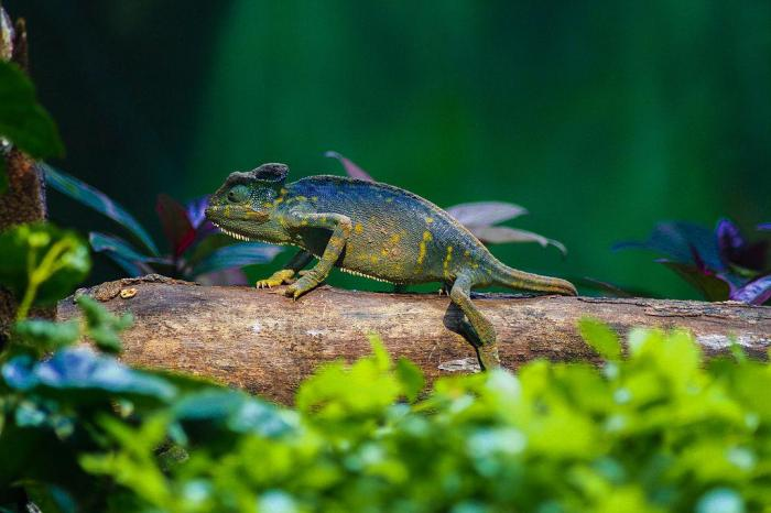 How Does The Panther Chameleon Change Colors?