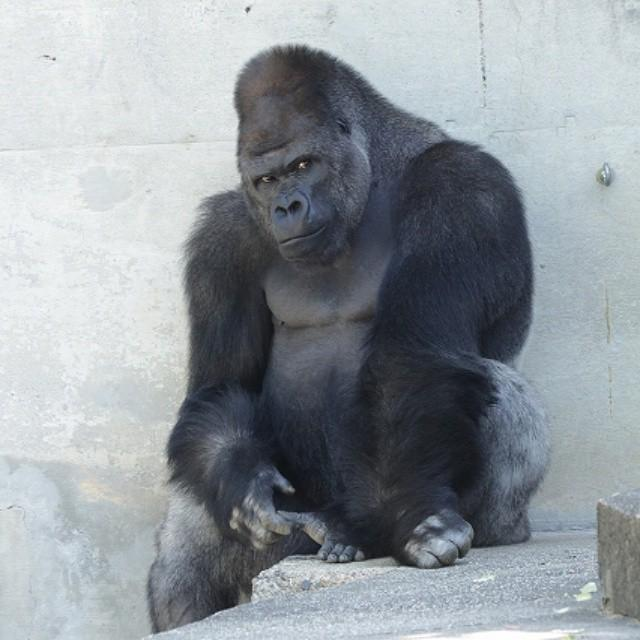 [Image: Handsome-gorilla-delights-female-zoo-goers-in-Japan.jpg]
