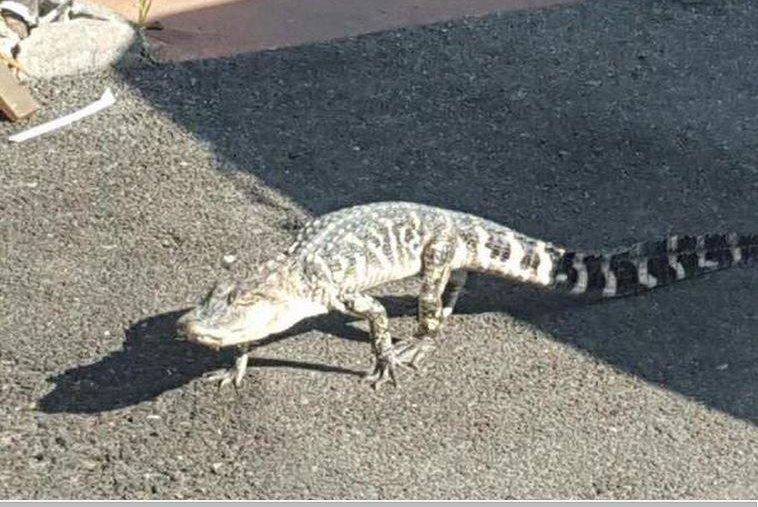 Small alligator found roaming Manhattan streets dies…