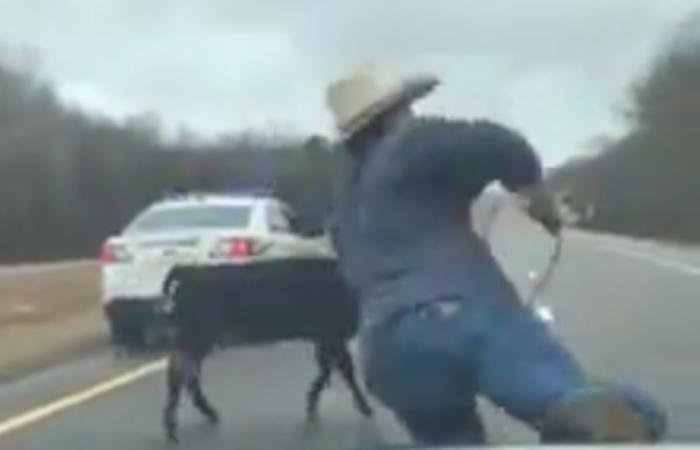 Man lassos calf on Tennessee highway from roof of police patrol vehicle