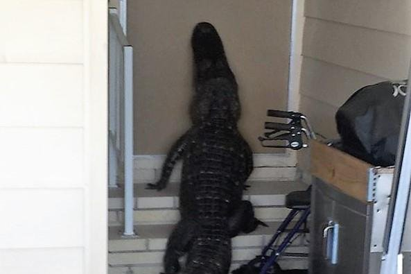 Look Alligator Climbs Stairs Front Door Of Florida Home
