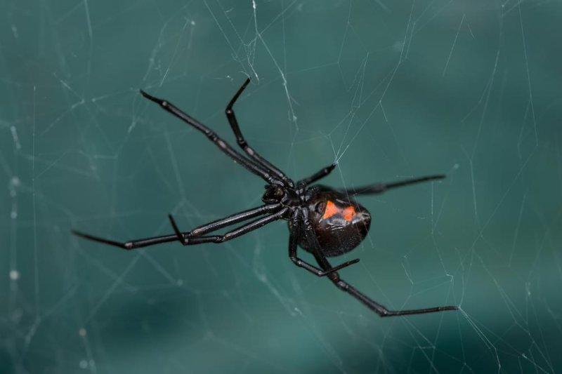 DNA of black widow spider toxin found in virus genome