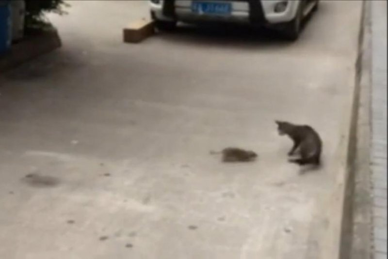 Cat vs. Giant Rat