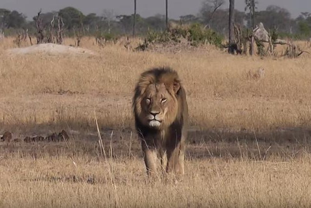 Cecil killer faces calls for prosecution…