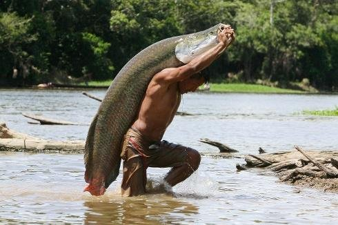 Giant Amazonian fish now locally extinct in many areas
