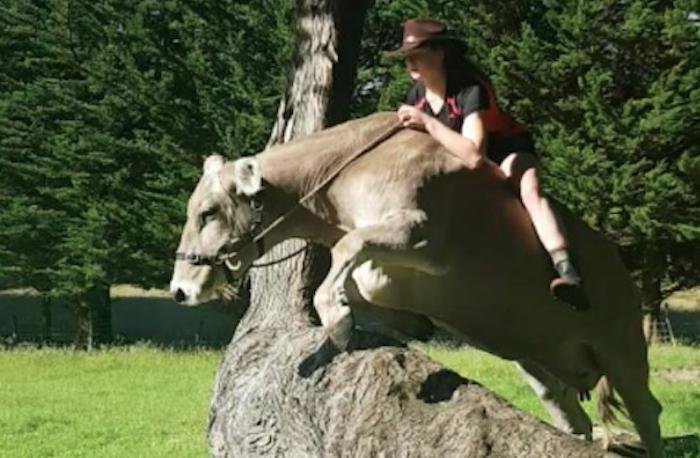 Girl denied a horse is udderly charmed by bareback cow jumping instead