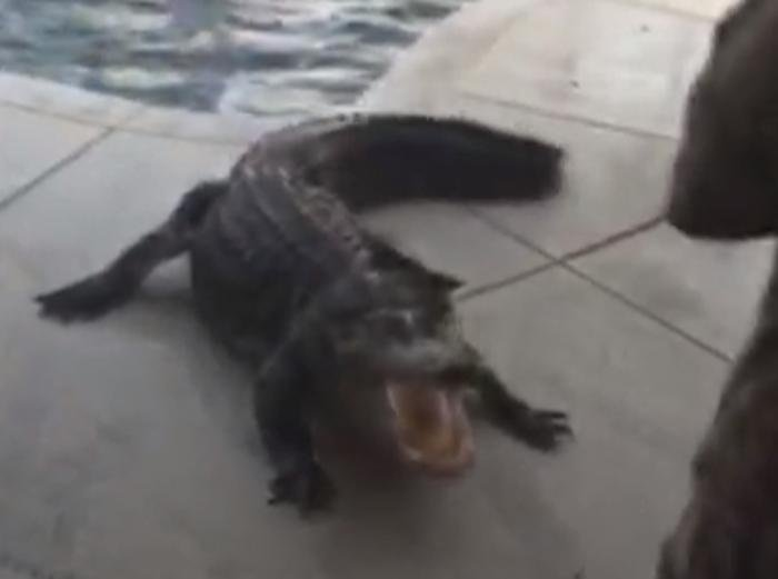 Florida Family Finds 9 Foot Gator In Pool