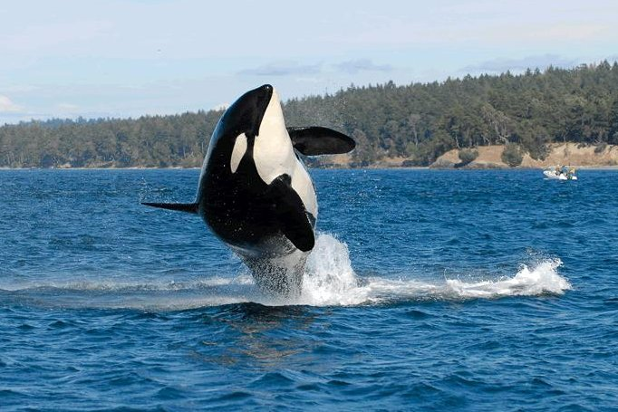 World's oldest known killer whale dies at over a 100 years old