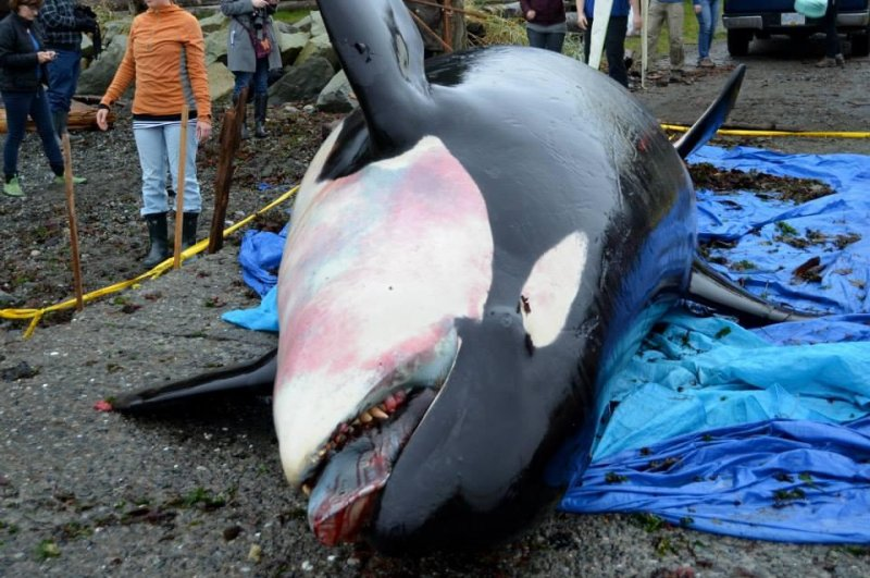 Researchers find beached whale with teeth stolen - UPI.com