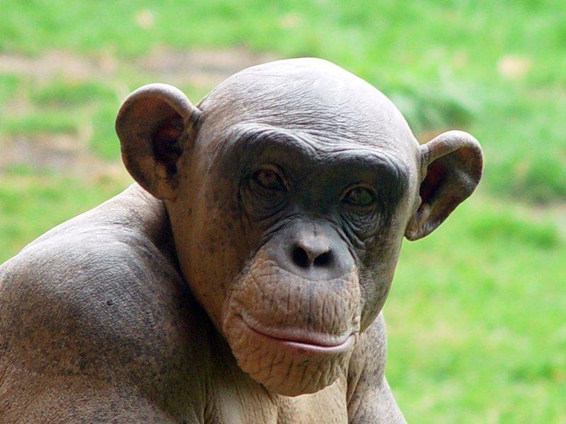 news chimps meat
