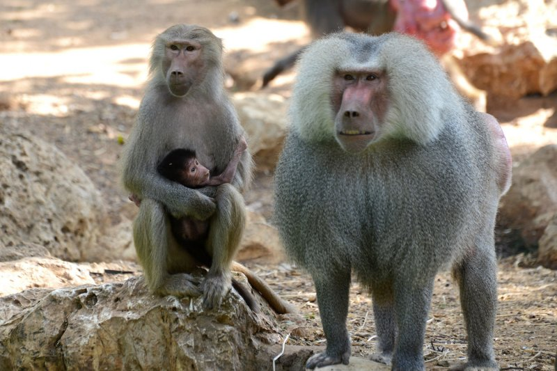 Baboons' five vowels suggest early origins of language