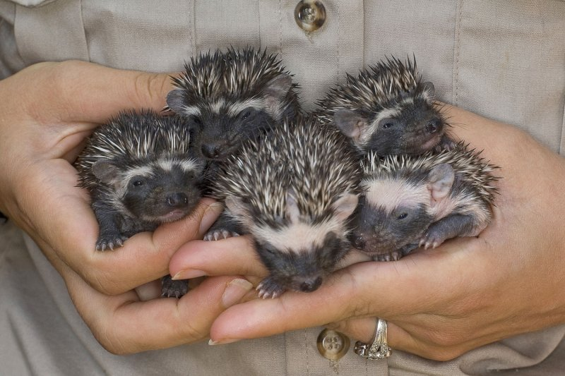 [Image: Pygmy-hedgehogs-a-hit-with-Swedes.jpg]