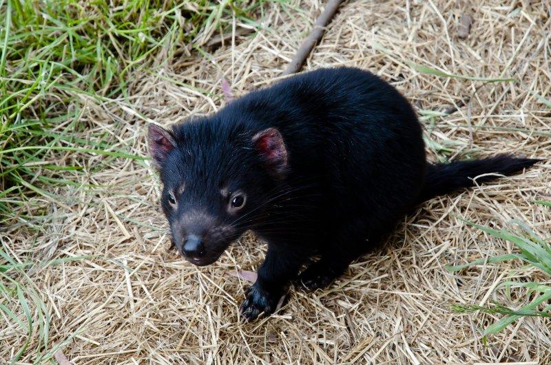 Tasmanian Devil Endangered