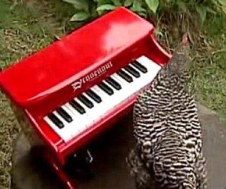 http://cdnph.upi.com/sv/em/i/UPI-1091393259353/2014/1/13932602699750/Chicken-at-the-Honolulu-Zoo-plays-piano.jpg