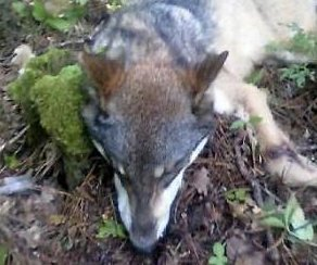 http://cdnph.upi.com/sv/em/i/UPI-1391377641248/2013/1/13776418569312/Minnesota-teen-recovers-from-rare-wolf-attack.jpg