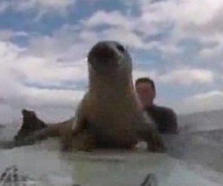 http://cdnph.upi.com/sv/em/i/UPI-1441407328195/2014/1/14073284606526/Spectacular-summer-video-Seal-on-a-surfboard.jpg
