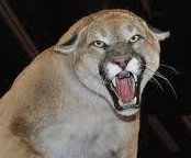 http://cdnph.upi.com/sv/em/i/UPI-1571393600090/2014/1/13936004536826/11-year-old-girl-kills-cougar-that-followed-her-14-year-old-brother-home.jpg