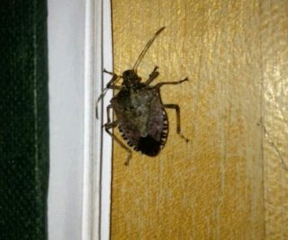 http://cdnph.upi.com/sv/em/i/UPI-1641380845520/2013/1/13808456216188/Stink-bugs-invade-mid-Atlantic-states-as-shutdown-furloughs-top-stink-bug-researcher.jpg