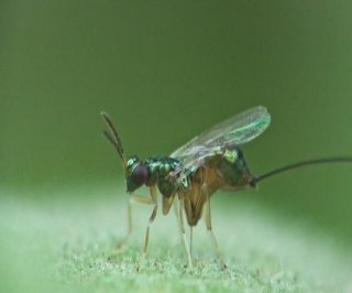 http://cdnph.upi.com/sv/em/i/UPI-1661401367340/2014/1/14013699918991/Parasitic-wasp-uses-zinc-tipped-drill-to-bore-into-fruit.jpg