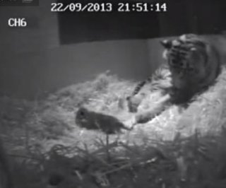http://cdnph.upi.com/sv/em/i/UPI-1761380804809/2013/1/13808057703788/First-Sumatran-tiger-born-at-London-Zoo-in-17-years.jpg