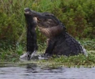 http://cdnph.upi.com/sv/em/i/UPI-1801407244146/2014/1/14072442289415/Gator-fight-Florida-photographer-captures-violent-alligator-altercation-with-his-camera.jpg