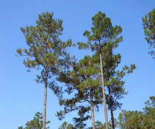 http://cdnph.upi.com/sv/em/i/UPI-2161395413667/2014/1/13954165561538/Newly-mapped-loblolly-pine-genome-is-seven-times-longer-than-a-humans.jpg