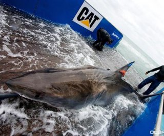 http://cdnph.upi.com/sv/em/i/UPI-2171399926220/2014/1/13941234847666/Katherine-great-white-shark-continues-to-frequent-Florida-coast.jpg