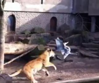 http://cdnph.upi.com/sv/em/i/UPI-2321364476619/2013/1/13644789443516/VIDEO-Lion-kills-heron-in-front-of-crowd-in-Amsterdam-zoo.jpg