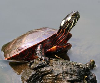 //cdnph.upi.com/sv/em/i/UPI-2541403025519/2014/1/14030273864396/Why-some-turtles-breathe-through-their-butts.jpg