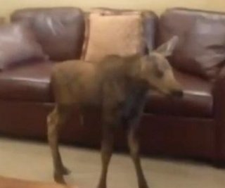 //cdnph.upi.com/sv/em/i/UPI-3511402596432/2014/1/14025969097600/Baby-moose-wanders-into-hotel-lobby-in-Colorado-and-creates-a-scene.jpg
