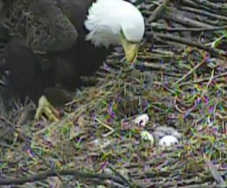 http://cdnph.upi.com/sv/em/i/UPI-3841396570237/2014/1/13961300957715/Third-bald-eagle-hatches-on-nest-cam-in-Pittsburgh.jpg