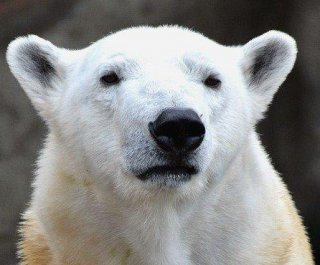 http://cdnph.upi.com/sv/em/i/UPI-4221389184608/2014/1/13891847156066/Chicago-polar-bear-Anana-stays-inside-at-Lincoln-Park-Zoo-because-of-polar-vortex.jpg