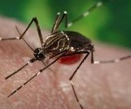 http://cdnph.upi.com/sv/em/i/UPI-4331402712608/2014/1/14027147804349/Chikungunya-virus-reported-in-North-Carolina.jpg