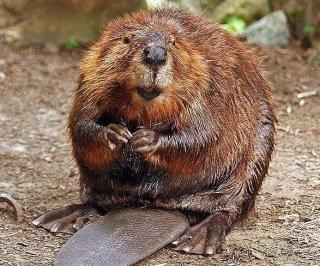 http://cdnph.upi.com/sv/em/i/UPI-43711347470578/2012/1/13474719599160/Rabid-beaver-chases-children.jpg