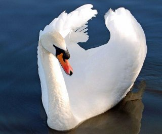 //cdnph.upi.com/sv/em/i/UPI-4441393863289/2014/1/13927531826226/NY-state-officials-backtrack-on-swan-cull-plans.jpg