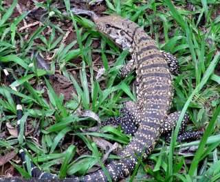 http://cdnph.upi.com/sv/em/i/UPI-4491393434895/2014/1/13934363524700/Invasive-lizard-taking-over-habitat-in-Florida.jpg