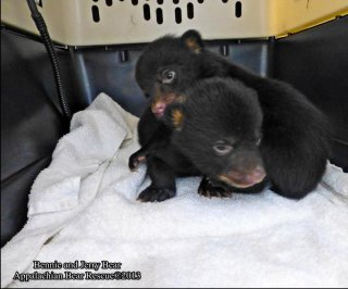 http://cdnph.upi.com/sv/em/i/UPI-48851363105755/2013/1/13631064178382/Bear-cubs-found-in-box-at-roadside.jpg