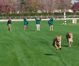 //cdnph.upi.com/sv/em/i/UPI-49871355848830/2012/1/13558551256784/Cheetahs-cut-loose-at-the-race-track.jpg